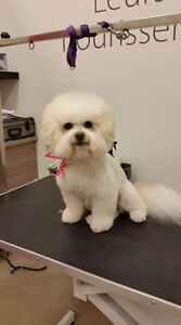 Bichon Frise grooming    specialist West Island Greater Montréal image 9