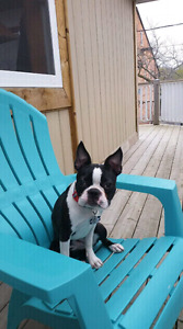 Boston Terrier looking for a good home