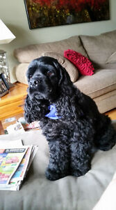 Missing BLACK COCKER SPANIEL - Winston -