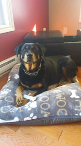 Rocky 8 yr old neutered male up for adoption through Pet save