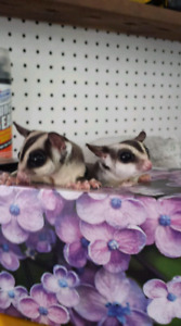 2 year old Sugar Glider Brothers