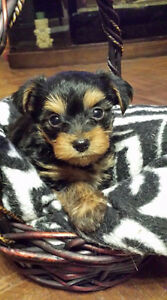 3 Beautiful Yorkie Puppies (only 1 left)