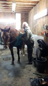 amateur friendly purebred Canadian mare for partboard