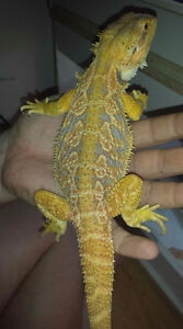 Bearded Dragon Collection (High end morphs ) Reduced Prices