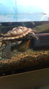 5 year old female Mississippi map turtle