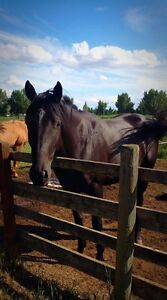 4 year old Quarter horse mare for sale
