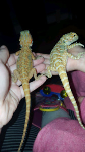 Two baby brother bearded dragons