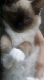 Ragdoll kitten male