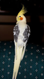 Lost Cockatiel - $1,000 reward for safe return
