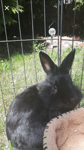 Friendly dwaft lionhead rabbit and cage for sale