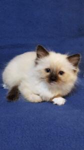 Ragdoll kitten (PUREBRED)