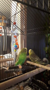 2 budgies.  I belive male but not sure