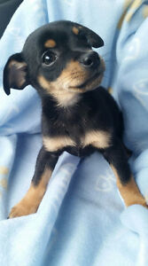 cute Teacup Chihuahuas puppie Vaccinated TEACUP!!