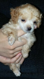 """Teacup"" Toy Poodle Puppies"