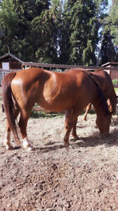 10 yr old qhxpaint mare for sale