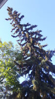 Tree Pruning, Tree Falling, Tree Removal...Free Quotes...CALL!!