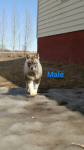 Siberian Husky- Mother's Day Special make reasonable offer