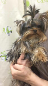 Yorkshire Terrier ( Teacup and Standard ) Yorkie (New Pics)