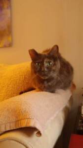 Senior Female  - Domestic Short Hair-Dilute Tortoiseshell