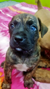 African Boerboel Puppies … The Brain and Brawn