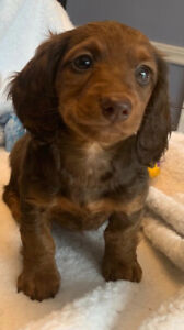 Dachshund Teckel Miniature Longhaired