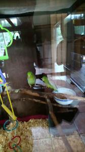 Couple Toui Celeste a vendre / Parrotlet couple for sale