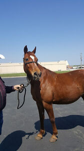 Tennessee Walking Horse Mare and Gelding