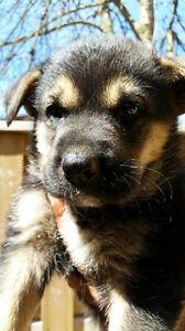 Golden retriever x shepherd puppies