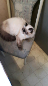 Himalayan male cat name BJ