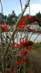 Erythrina indicator coral tree for sale in Armadale
