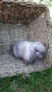 8 week old holland lop