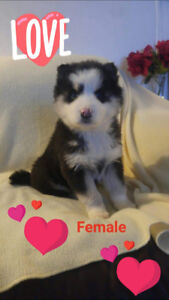 Siberian Husky- READY TO GO- 4 left