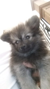 ♡♡Registered Purebred Pomeranian Puppies ♡♡