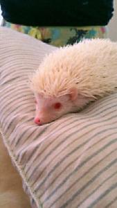 Herisson albinos male a vend.