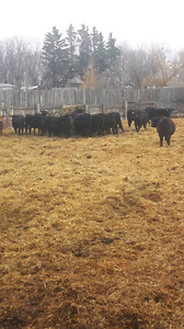 SOLD!!! Open Commercial replacement heifers