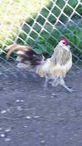 Chickens for Sale Bantams