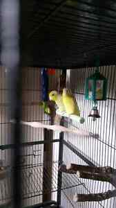 Pair of parrotlets