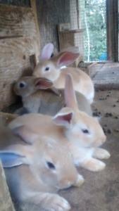 New zealands meat rabbit