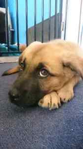 Beautiful female boxer x pup for sale