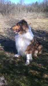Collie (rough female)