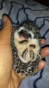 Registered Hedgehog Breeder, Peace Country Hedgehogs.  Strathcona County Edmonton Area image 7