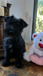 Mini Schnauzers:  Love Is In The Air !!