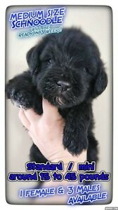 "JUST 4 MINI /STANDARD ""  Schnoodle"" LEFT"