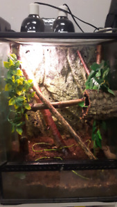 Female halmahera and terrarium  (2 available)