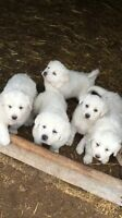 Guard dog pups for sale