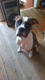 HURRY HURRY Hurry last XL girl of litter reduced now £1000