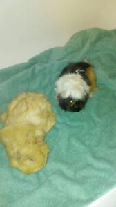 Two female Guinea pig for rehoming together