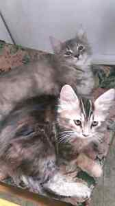 Calico/tabby/Maine coon mix kittens