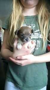Gorgeous Purebred Long Coat Merle Chihuahua Puppies
