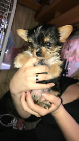 Puppies in West Midlands | Dogs & Puppies for Sale - Gumtree
